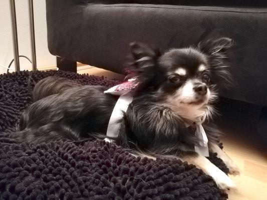 Chihuahuadame Cassandra mit Hunde-Ringkissen Corinna - Sonderwunsch