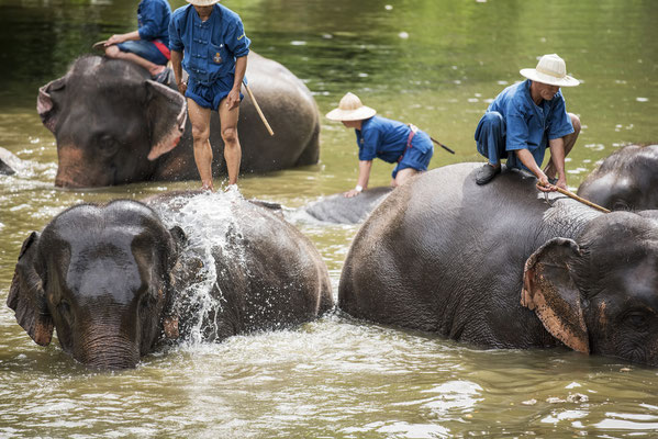 Mahouts baden ihre Elefanten in Lampang