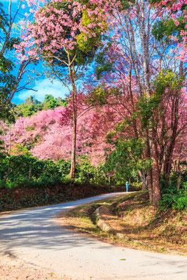 Sakura Doi Inthanon