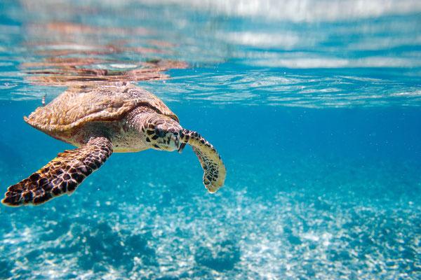 Meeresschildkröten Thailand