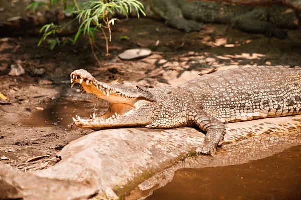 Krokodile in Thailand