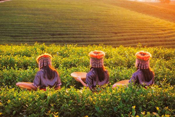 Chiang Rai Teeplantage