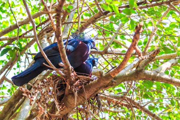 Victoria gekrönt Vogel Thailand