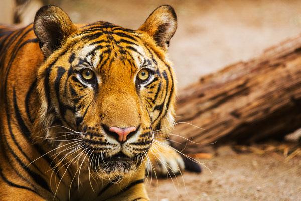Thailand hat noch viele wilde Tiger