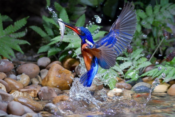 Blue-eared Kingfisher Thailand