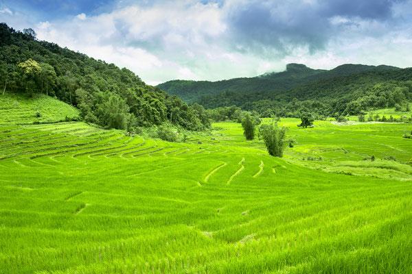 Sattgrüne Reis-Terrasse