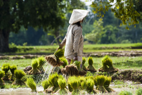 Reisfelder Vietnams