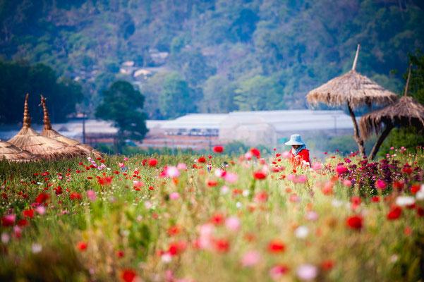Blumenfeld in Chiang Mai