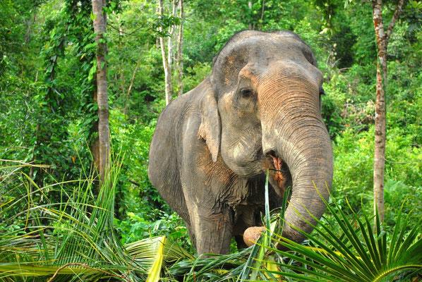 Elefanten im Norden Thailands