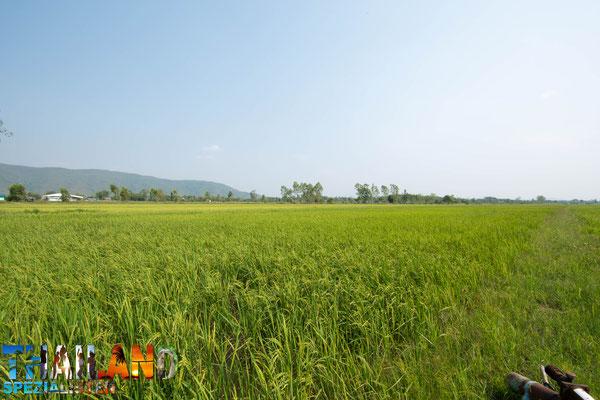 Reisfeld in Chiang Khong
