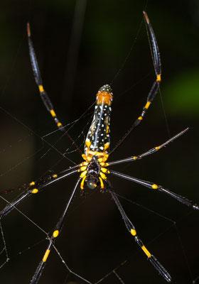 Nephila maculata - Webespinne Thailand