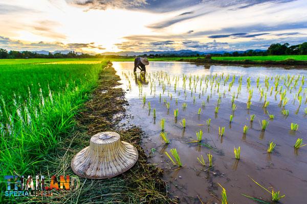 """Reis wird gepflanzt vor der Regenzeit - """"CBT Tourismus mit Nuttys Adventures"""""""