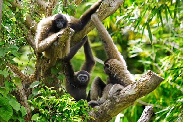 Gibbons Thailand