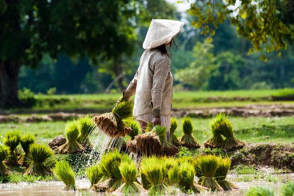 Reis Topfen Laos