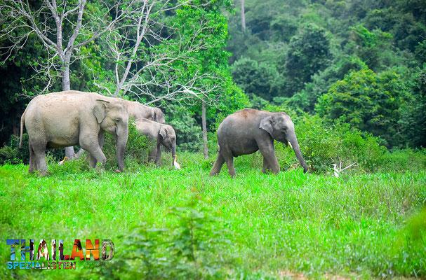 Elefanten im Kui Buri Nationalpark in der Provinz Prachuap Khiri Khan