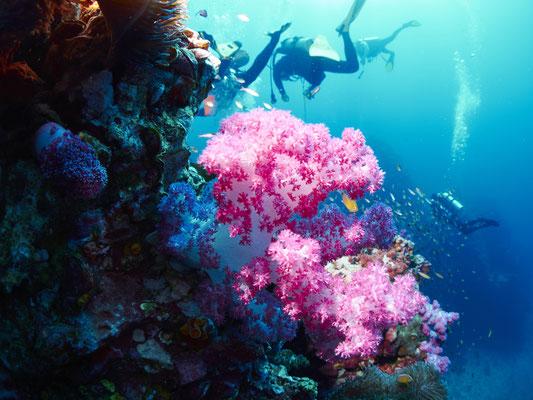 Koralle Thailand