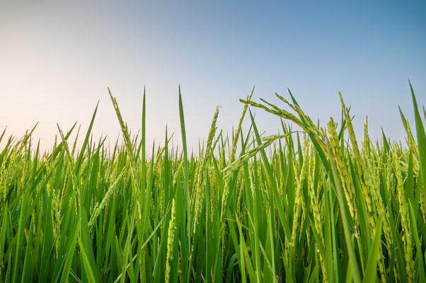 Reisanbau- und Verkauf