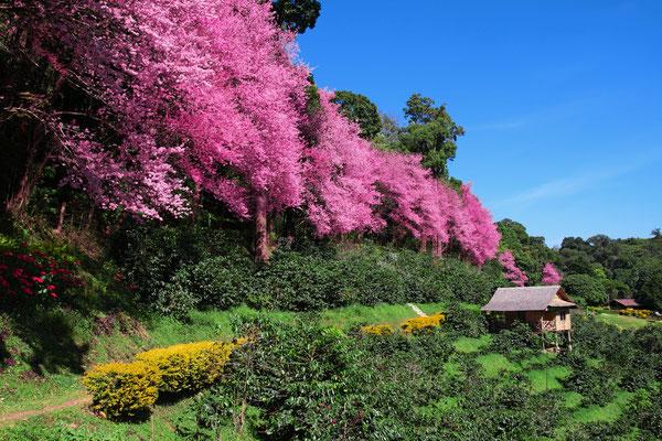 Sakura in Chiangmai