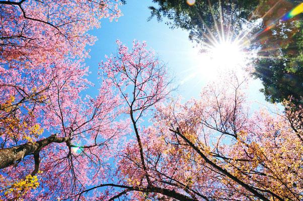 Doi Suthep Pink Flower Tree