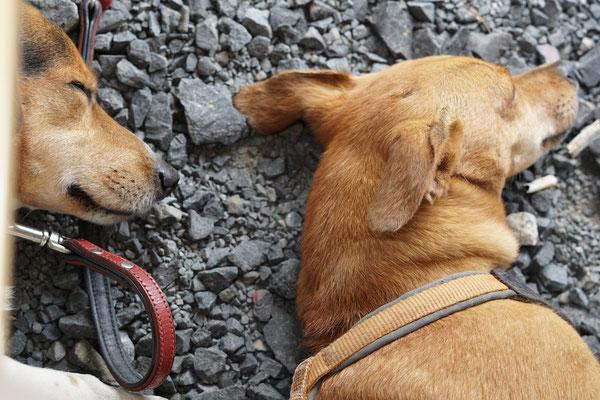 Hunde sind kaputt nach einem anstrengenden Tag