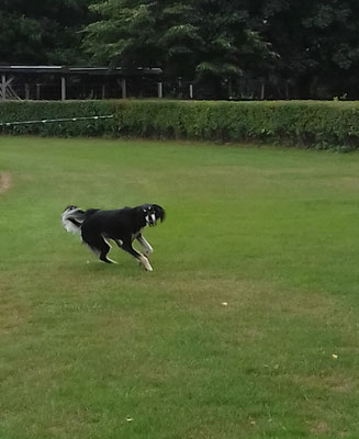 Saluki in action