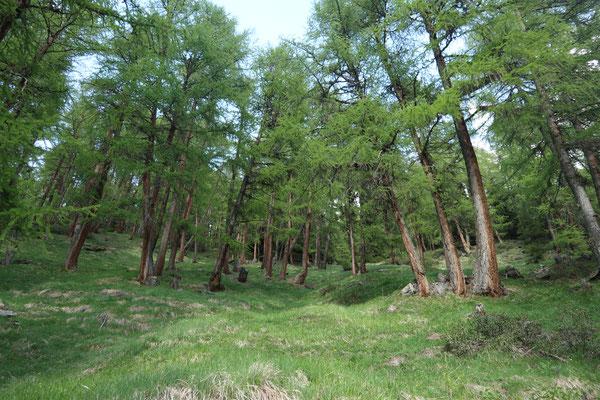 mélèzes forêt