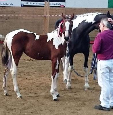 Zackira, premium foal
