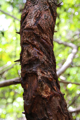Dieser Baum kann für die Wundpflege genutzt werden. / This tree helps with blessings.