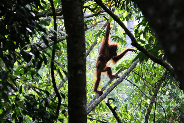 Orang Utan im Rainforest Discovery Centre