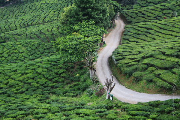 Cameron Highlands tee plantaions
