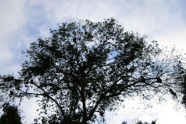 Nicht ein Wald voll Affen, sondern ein Baum voll Affen! A tree full of monkeys!