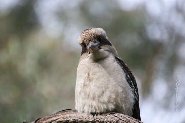 Hi Kookaburra... a typical Australian bird!