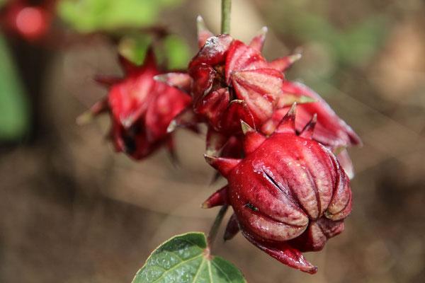 und was ist wohl das? Darunter wachsen Tamarind-Wuzeln... ist das die Blume dazu?