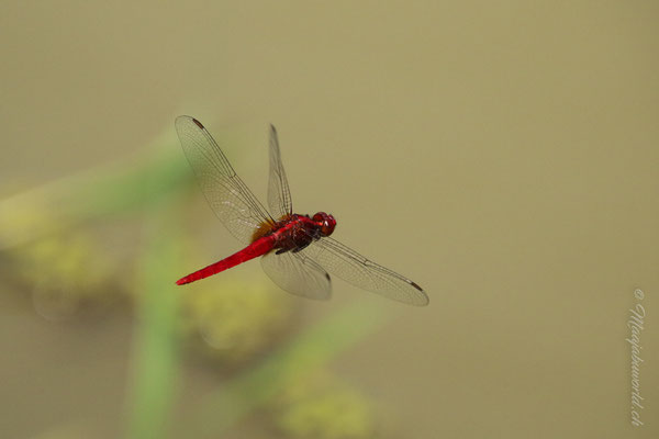 wundervolle Libellen!!