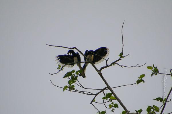Ein Päärchen. Links das Weibchen, rechts das Männchen.... / left side female, right side male...