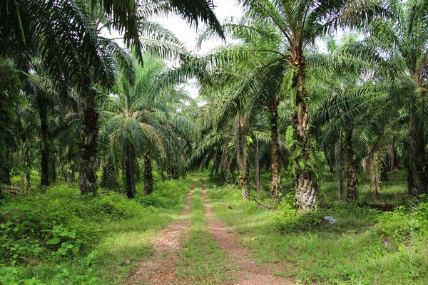 Palmplantagen auf dem Weg zum Taman Negara / Palm tree plantation on the way to Taman Negara