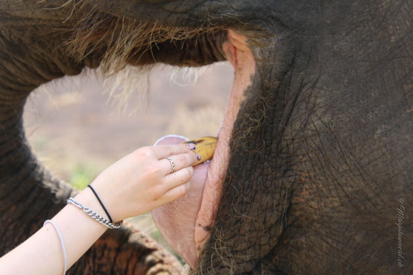 """Man sagt laut """"Bonbon""""... und schon kann man dem Elefanten die Leckerei direkt auf die Zunge legen!"""