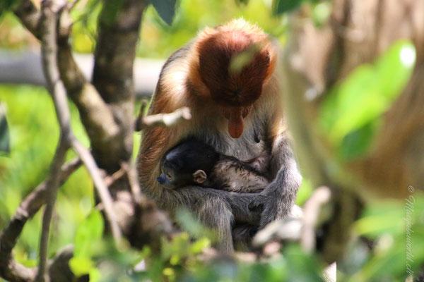 Nasenaffen / Proboscis Monkeys