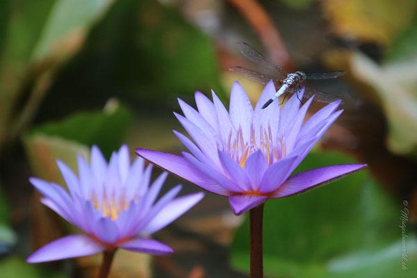 einmal mehr Libellen! / once more dragonflies!