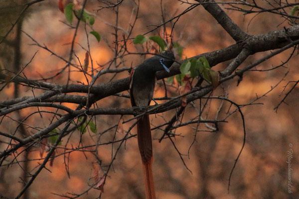 a Paradise Flycatcher