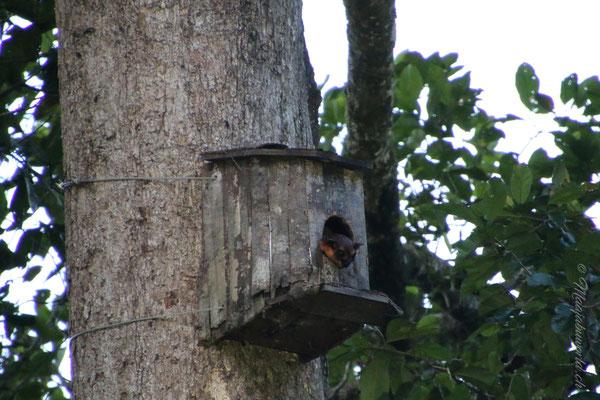 Fliegende Eichhörnchen / flying squirell