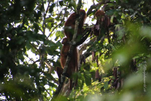 Red Leave Monkeys