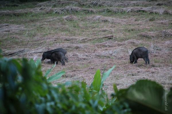 unsere Wildschweine / our wildpic's