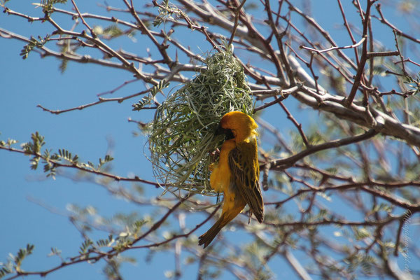 A weaver bird at work!