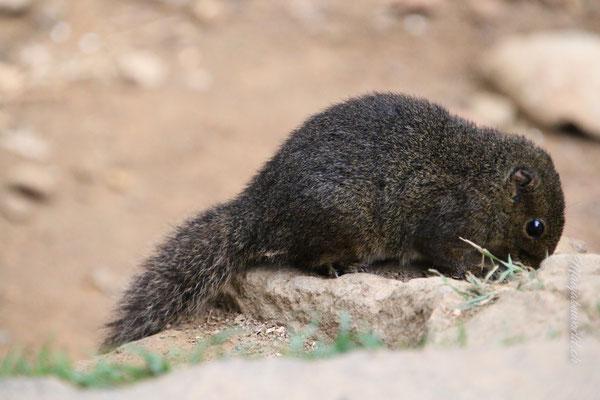 mutige Eichhörnchen / bold squirells
