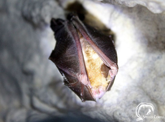 Possible Greater horseshoe bat in the Anthropograva cave in Klimatia (2019).