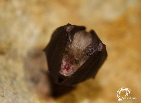 Lesser horseshoe bat (Rhinolophus hipposideros) in the Grava stu Petiri cave in Agii Deka (2019).