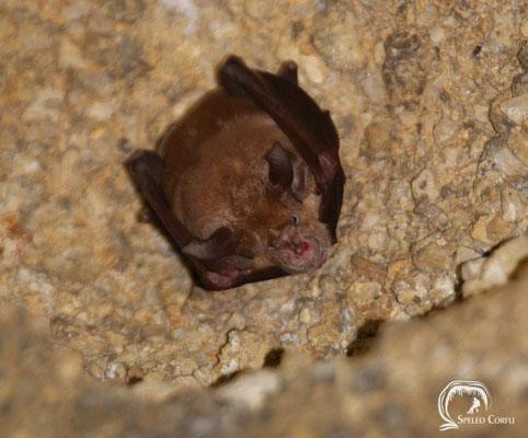 Greater horseshoe bat (Rhinolophus ferrumequinum) in the Grava stu Petiri cave in Agii Deka (2019).