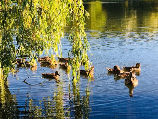 La famille de canards du Carpodrome de Laurielle