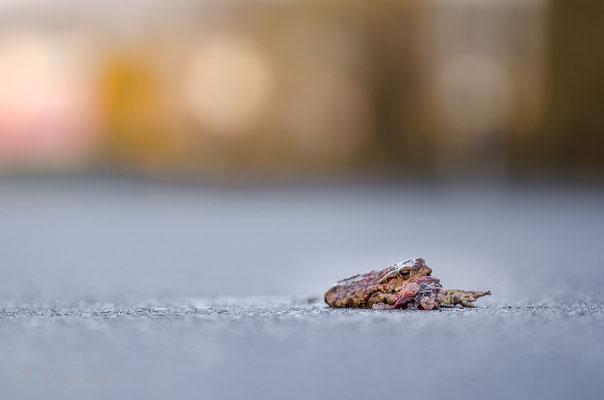 Erdkröte, Weibchen; Keltern